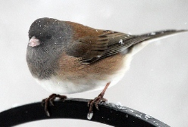 oregon_junco_2013_hra