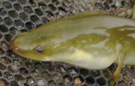 yellow_eel_2013_hra