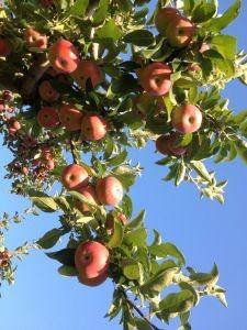 MC_Apples_2012_9_13