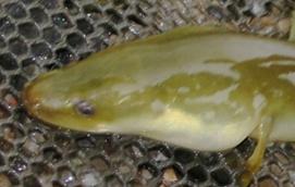 yellow_eel_2013_hra